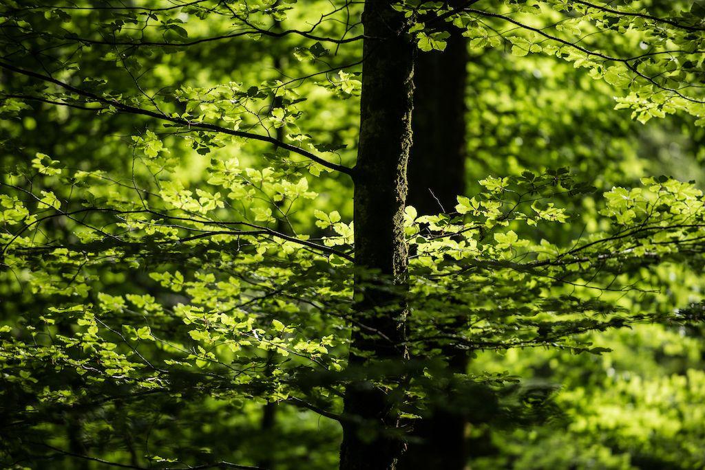 Laui-Wald